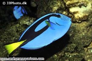 Blue Tang       1066