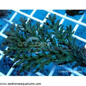 Acropora Carduus 3984