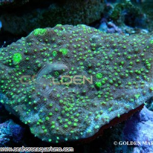 Acropora Crateriformis 084