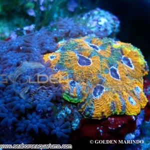 Acanthastrea Yellow Premium 08