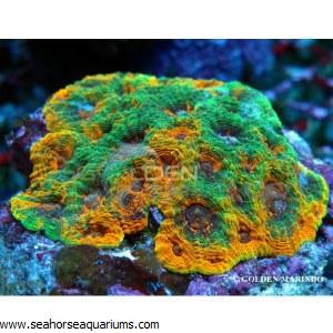 Acanthastrea Yellow Premium 51