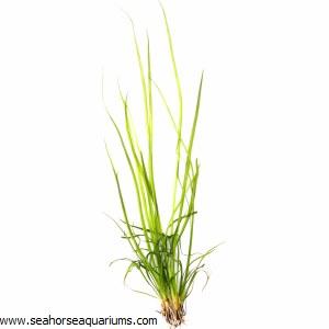 Helanthium 'Angustifolius'