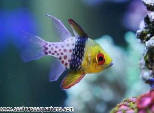 Polkadot Cardinalfish       55