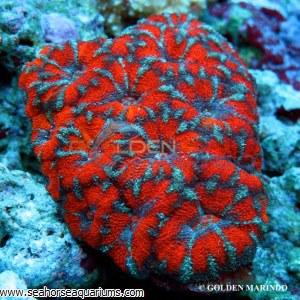 Acanthastrea Red Stripe 3878