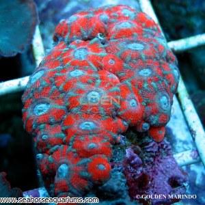 Acanthastrea Red Stripe 3947