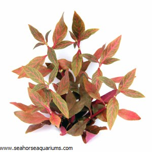 Alternanthera reineckii Red Rb