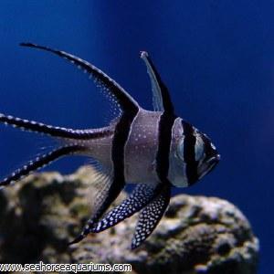Bangi Cardinalfish