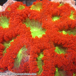 Blastomussa Coral (Per Polyp)