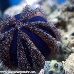 Blue Pincushion Urchin