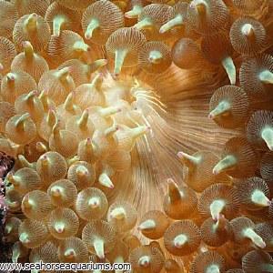 Bulb Anemone