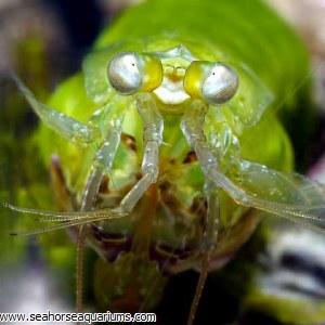Clown Mantis Shrimp