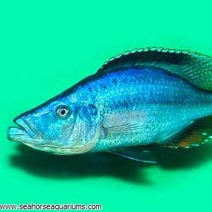 Compressiceps Cichlid