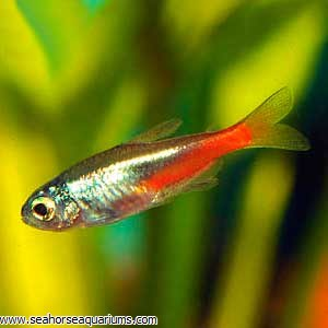 Diamond Head Neon Tetra