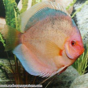 Dark Angel Discus