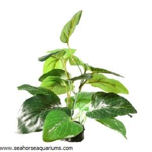 Samolus Sword sml 7cm Plant