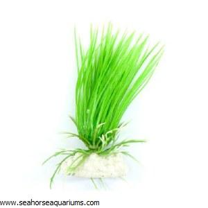 "Boyu 4"" Hairgras Plant"
