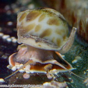 nassarius snails common