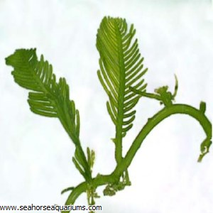 Needle Algae