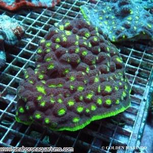 Chalice Coral - Echinophyllia