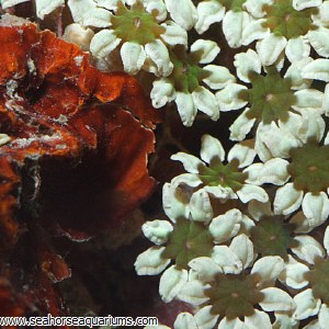 Pipe Organ Coral