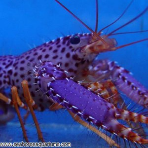 Purple/Orange Reef Lobster