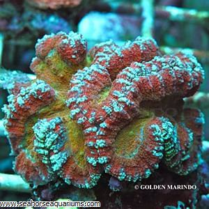 Dented Coral Tricolor