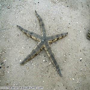 Sand sifiting Star