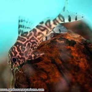 Synodontis Eupterus Catfish