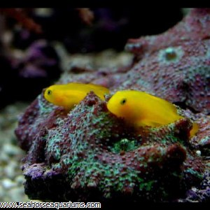 Yellow Goby