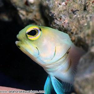 Yellow Head Jawfish