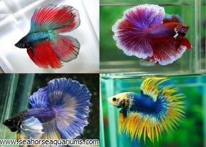 Fancy Betta