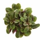 Lobelia cardinalis 'Mini'