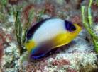 Multicolour Angelfish