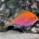 Fathead Sunburst Anthias