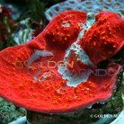 Chalice Coral Red Premium 021