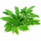 Cryptocoryne wendti Broad Leaf