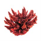 Red Spiny Acropora 12cm