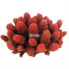 Red Sponge Coral 10cm