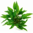 Cryptocoryne wendtii 'Green