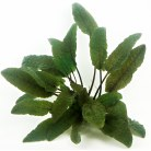 Cryptocoryne wendtii 'Brown