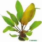 Echinodorus Dschungelstar No15