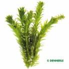 Egeria densa 'Dense Waterweed'