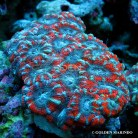 Acanthastrea Red Stripe 3867