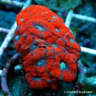 Acanthastrea Red Stripe 4030