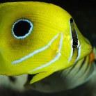 Bennetts Butterflyfish