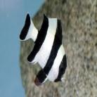 Black-Tailed Humbug