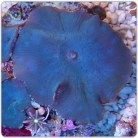 Blue Mushrooms (Per Polyp)