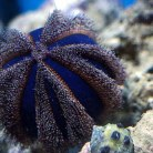 Blue Pincushion Urchin