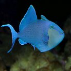 Blue Triggerfish
