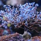 Blueberry Gorgonian